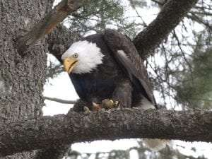Bald Eagle provided by DEC