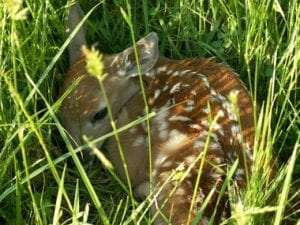 Deer Fawn by Art Jacobson