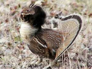 Ruffed-Grouse-Courtesy-Commonwealth-Foundation