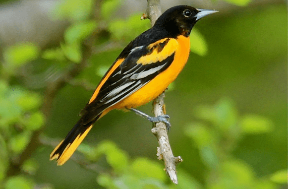 Baltimore Oriole courtesy Wikimedia user TonyCastro