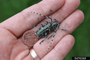 Asian longhorned beetle by Joe Boggs Ohio State University