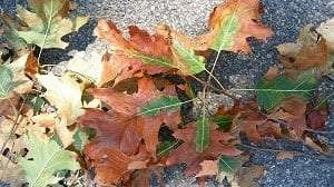 Leaves from a red oak tree infected with oak wilt