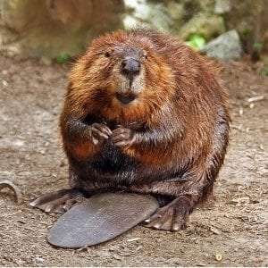 American Beaver courtesy Wikimedia user Steve