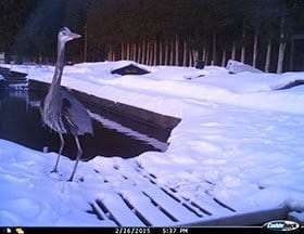 Blue Heron at fish hatchery courtesy DEC