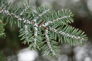 Hemlock Woolly Adelgid provided by DEC