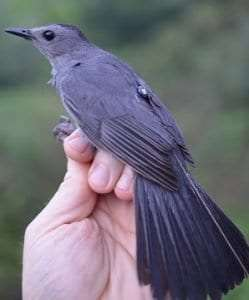 grey catbird with transmitter courtesy of Powdermill Avian Research Center