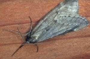 Alsophila-pometaria-US-Forest-Service