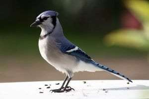 Blue Jay courtesy Wikimedia user Darren Swim