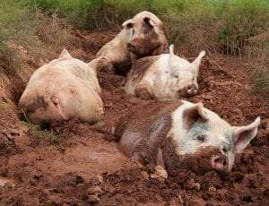 Domestic pigs in a wallow courtesy Mark Peters Poplar Spring Animal Sanctuary