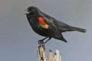 Male Red-Winged Blackbird courtesy Alan D. Wilson