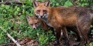 Red Fox provided by Cary Institute of Ecosystem Studies