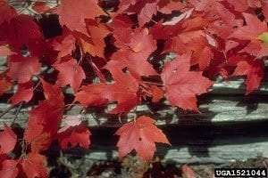 Red maple leaves in autumn by USDA Forest Service