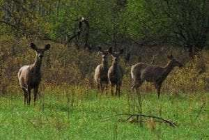Whitetail deer by Dick Thomas