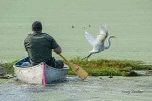 injured Great Egret tries to escape capture provided by DEC