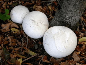 puffball mushrooms courtesy University of Wisconsin Green Bay