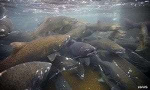 salmon migration provided by US Fish and Wildlife Service