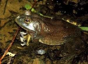 American Bullfrog courtesy Kabir Bakie