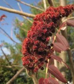 Cluster of staghorn sumac fruits by David Taylor