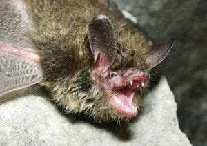 Northern Long Eared Bat
