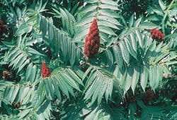 Staghorn sumac courtesy USDA