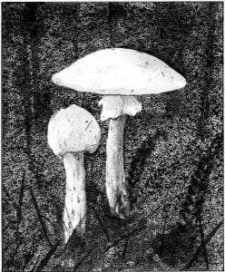 TOS_Fungi_AmanitaVerna