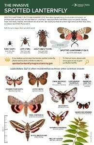 DEC's new spotted lanternfly look-alikes poster