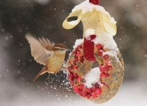 Carolina Wren by Anne Duvall Project FeederWatch