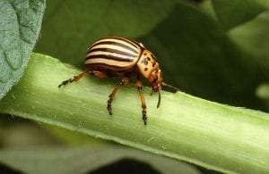 Colorado potato beetle courtesy Scott Bauer USDA