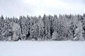 Conifers in winter courtesy Wikimedia user Olga Ernst