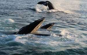 Humpback whales feeding by Nicole Starkweather