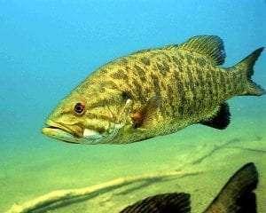 Smallmouth bass courtesy Engbretson Eric, U.S. Fish and Wildlife Service