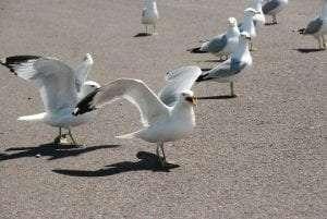 ring-billed gulls courtesy Wikimedia user Coo coo pigeon