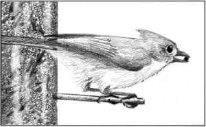 TOS_Tufted Titmouse