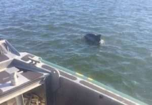 ECOs help check on a dolphin in Bellport Bay