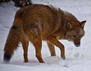 Eastern Coyote courtesy www.ForestWander.com