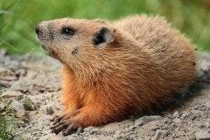 Groundhog courtesy Wikimedia user Cephas