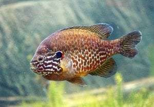 Pumpkinseed courtey Wikimedia user Cephas