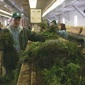 Staff from DEC's Division of Lands and Forests sort bare-root seedlings at the Nursery during the annual spring sale