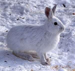 Snowshoe Hare courtesy Wikimedia user D Gordon E Roberson