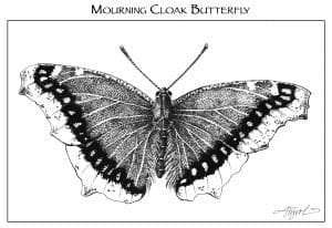 TOS_Insects_MourningCloak