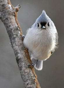 Tufted Titmouse by Deborah Bifulco