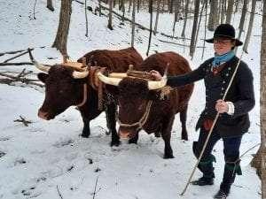 Oxen at Fort Ticonderoga