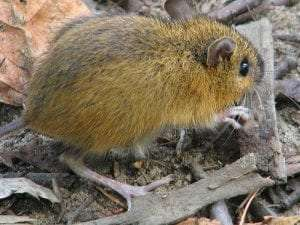 Woodland jumping mouse courtesy Wikimedia user D Gordon E Robertson
