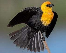 Yellow-headed Blackbird by Ian Davies Macaulay Library at the Cornell Lab of Ornithology