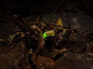 female firefly courtesy Wikimedia user NEUROtiker