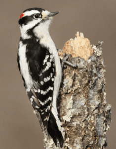 Downy Woodpecker courtesy Evan Lipton