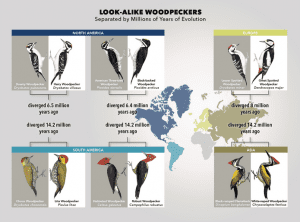 look-alike-woodpeckers-300x222