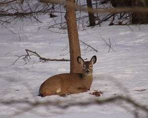 whitetail deer in the snow by Fred Couse