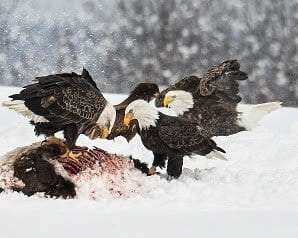 Bald Eagles courtesy Bill Straite
