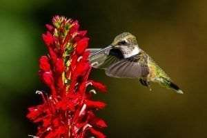 Hummingbird courtesy AdkAction
